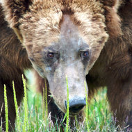 Ursus arctos, coastal brown (grizzly) bear male.