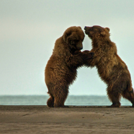 Ursus arctos, coastal brown (grizzly) bears wrestling at low tide.