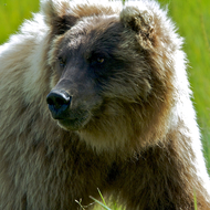 Ursus arctos, coastal brown (grizzly) bear.