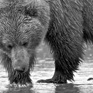 Ursus arctos, coastal brown (grizzly) bear sow digging for razor clams at low tide.