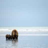 Ursus arctos, coastal brown (grizzly) bear sow and cub digging for razor clams at low tide.