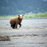 Ursus arctos, coastal brown (grizzly) bear cub.