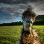 Big goofy emu sporting a great hairdo.