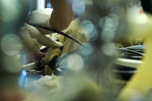 Thumbnail image ofDuring a routine surgical process, Moose the cheetah...