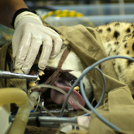 Moose the cheetah has a surgical procedure.