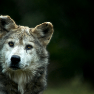 Quizzical Mexican Gray wolf (endangered).