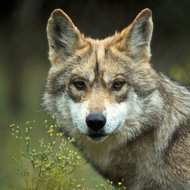 Mexican Gray wolf portrait.