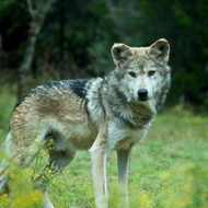 A strong Mexican Gray wolf watches me intently, while another begins a powerful howl.