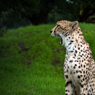 When a cheetah yawns, it starts like this, and gets bigger!
