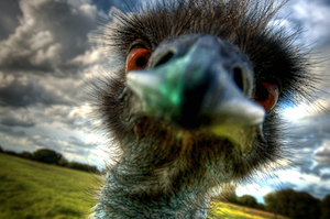 Thumbnail image ofMy friend the emu enjoying a quick peck on a very...
