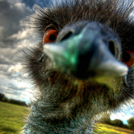 My friend the emu enjoying a quick peck on a very wide angle lens!
