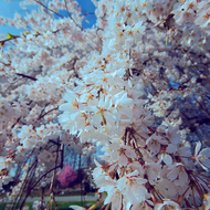 Cherry blossoms Awash