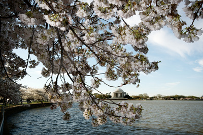 Thumbnail image ofCherry blossoms and Jefferson Memorial