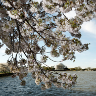 Cherry blossoms and Jefferson Memorial