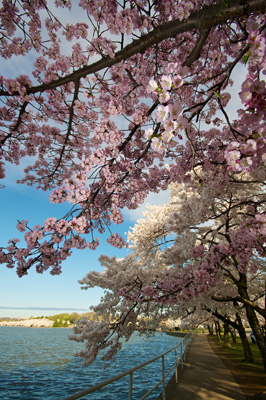 Thumbnail image ofCherry blossoms Along the Tidal Basin path