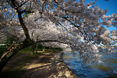 Thumbnail image of Cherry Blossoms