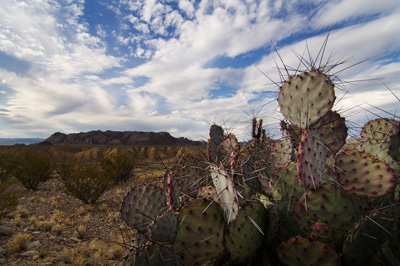 Thumbnail image ofCactus with Chisos
