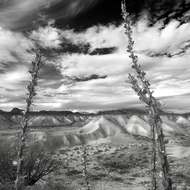 Ocotillo in the Badlands