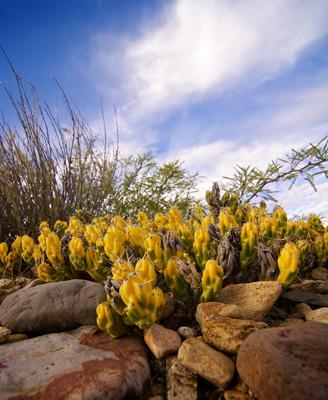 Thumbnail image ofFlowering Yellow Cactus