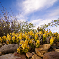 Flowering Yellow Cactus
