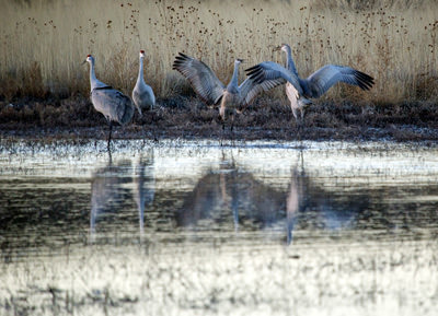 Thumbnail image of Cranes Dancing