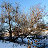 Tree in winter.