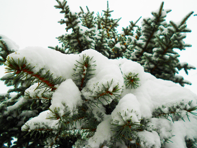 Thumbnail image of Spruce in the snow.