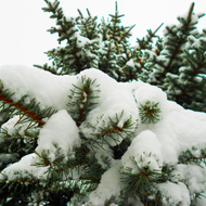Spruce in the snow.