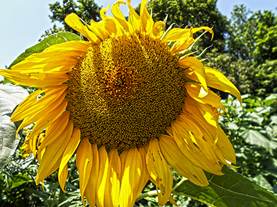 Thumbnail image of Bright sunflower.