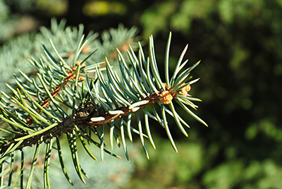 Thumbnail image ofSpruce branches in spring.