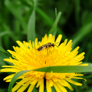 Bee on a dandelion.
