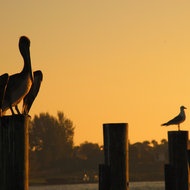 Pelican and Seagull at dawn