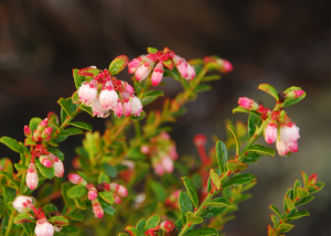 Thumbnail image of Shiny Blueberry flowers