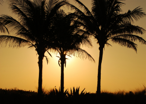 Thumbnail image of Palm Trees.