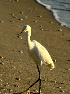 Thumbnail image of Snowy Egret