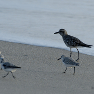 Black Bellied Plover with Sanderlings