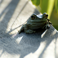 Barking Tree Frog sitting on the railing of a boardwalk.