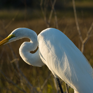Great White Heron in the Everglades