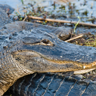 An alligator staring back from a cluster of alligators in the Everglades