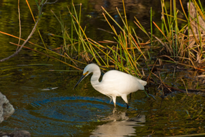 Thumbnail image ofEgret looking for food in the Everglades