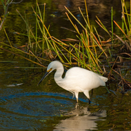 Egret looking for food in the Everglades