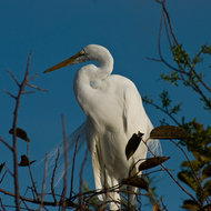 Great White Heron in a tree