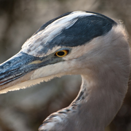 Closeup of Great Blue Heron.