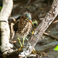 Young green heron in the Everglades.