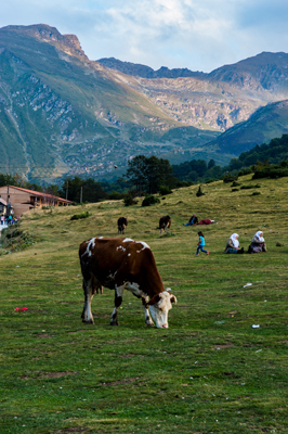 Thumbnail image ofCows grazing in Šar Mountains National Park in...