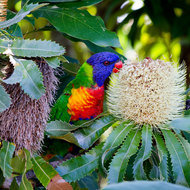 Colourful Lorikeet.