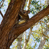 Sleepy koala in a gum tree.