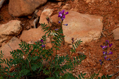 Thumbnail image ofColor in the desert, purple.