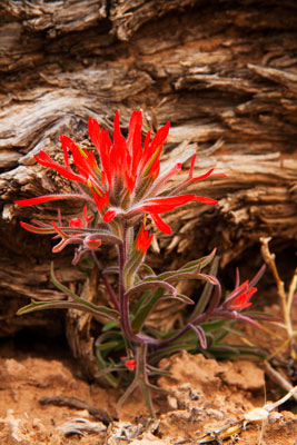Thumbnail image of Colour in the desert, red against old log.