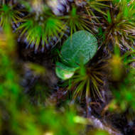 Tiny succulent amongst moss outbreaks on the granite.
